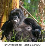 Mountain Gorilla Eating Plants...