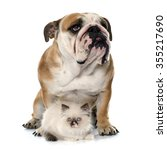 Stock photo british longhair kitten and english bulldog in front of white background 355217690