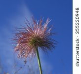 Small photo of Alpine anemone - Fruit Scientific name: Pulsatilla alpina subsp. apiifolia (Scop.) Nyman