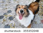 Dog  Shetland Sheepdog  Collie...