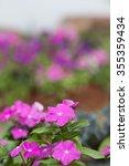 Small photo of Madagascar periwinkle, Madagascar periwinkle, Catharanthus roseus, Vinca flower