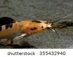 Small photo of African sharptooth catfish is a species of catfish of the family Clariidae, the airbreathing catfishes.
