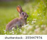 European Wild Rabbit ...