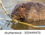 Eurasian Beaver  Castor Fiber ...