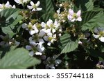 blackberry flowers and unripe... | Shutterstock . vector #355744118