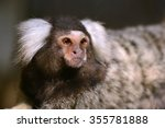 Common Marmoset Small Monkey...