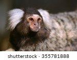 Common Marmoset Small Monkey...