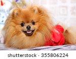 Cute Pomeranian Dog. Happy Dog