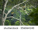Great Hornbill Male And Female...