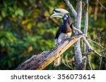 Oriental Pied Hornbill...