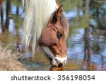 A Wild Chincoteague Pony At Th...