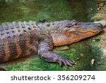 Mississipi Alligator  American...