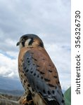 Small photo of American kestrel (Falco sparverius) on a handler's glove, against a cloudy sky