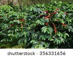 coffee beans ripening on a tree. | Shutterstock . vector #356331656