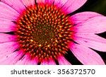 Close Up Of Pink Gerbera Daisy...