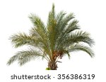 Date Palm Tree With Unripe Dates