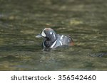 Harlequin Duck Swimming In A...