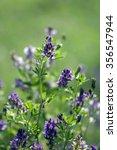 Small photo of Alfalfa; Medicago; sativa