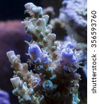 Small photo of Acropora Coral