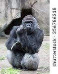 Western Lowland Gorilla Eating...