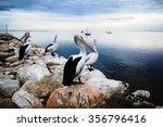 Pelicans  Kangaroo Island ...