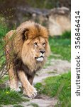 Majestic Lion Walking