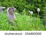Cute Hoary Marmot
