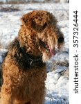 Small photo of airedale terrier portrait, winter outdoors