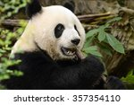 Giant Panda Bear Eating Bamboo...