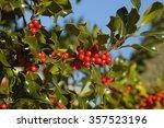 Holly Berries   Ilex Aquifolium ...