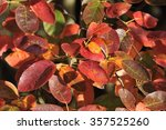 Small photo of Snowy Mespil - Amelanchier laevis Closeup of Autumn leaves