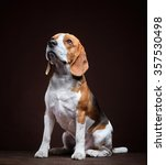 Portrait Of Young Beagle Dog O...