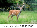 Close Up Young Whitetail Deer...
