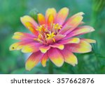 Pink And Yellow Hybrid Aster...