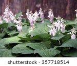 Beautiful Hostas Blooming In A...