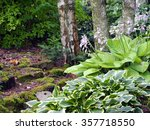 Beautiful Hostas Blooming In A...
