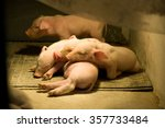 Pig Farm. Little Piglets
