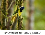 Colorful  Inca Jay Cyanocorax...