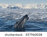 Humpback Whale Looking From...