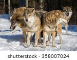 Several Wolves Standing...