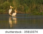 pair of american white pelican... | Shutterstock . vector #35810374