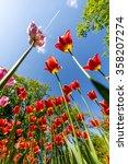 Red Tulips In Keukenhof ...
