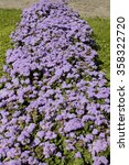 Small photo of Flowerbed with flowers ageratum houstonianum, blue colour.