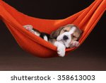 Stock photo small beagle puppy sleeping in a hammock 358613003
