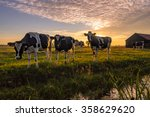 A Group Of Curious Cows In...