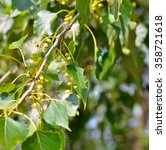 poplar fluff in the twig among... | Shutterstock . vector #358721618