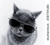 Portrait Of British Shorthair...