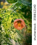 Small photo of Abutilon Pictum AKA Chinese Lantern, flowering