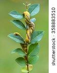Small photo of Death's-head Hawk moth - Acherontia atropos