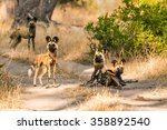 Pack Of African Wild Dogs...